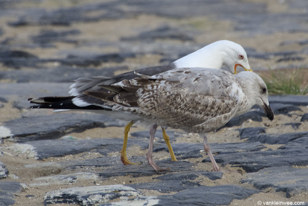 An adult Lesser Black-backed Gull and a second-calendar year European Herring Gull displaying pair-bonding behavior. Katwijk aan Zee, The Netherlands, 9 August 2013.