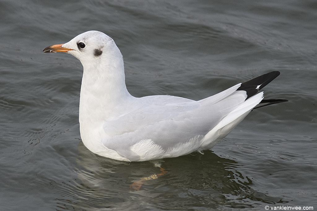 Second-calendar year Black-headed Gull, ringed as White EJC5. Leiden, The Netherlands, 24 August 2013