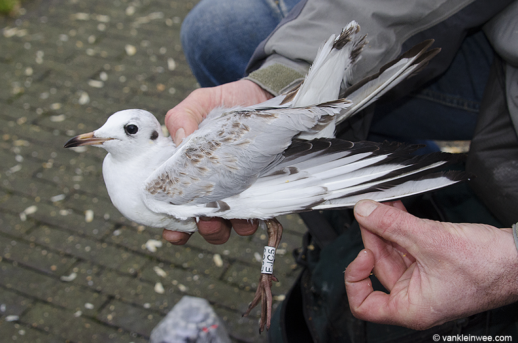 White EJC5 as a first-ccalendar year Black-headed Gull shortly after it was ringed. Leiden, The Netherlands, December 2012.
