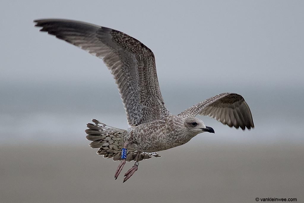 1st-calendar year European Herring Gull, ringed in Belgium. Wijk aan Zee beach, 22 September 2013.