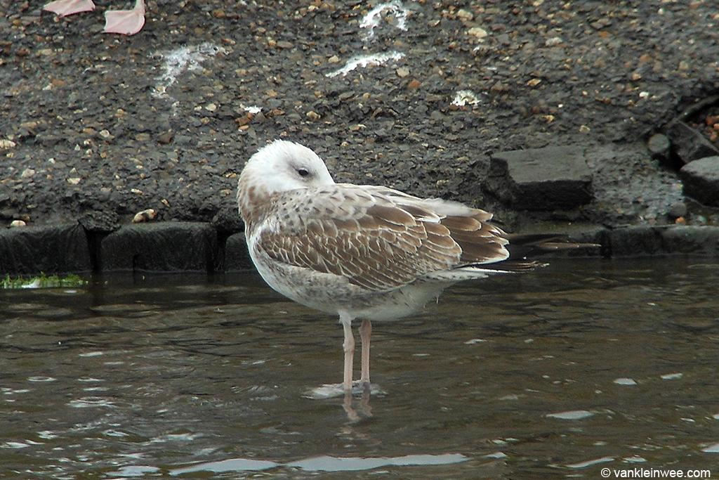 First-calendar year Caspian Gull. Katwijk aan Zee, 14 September 2013.