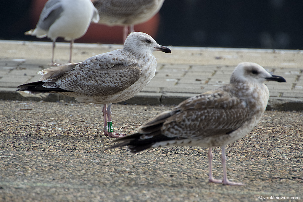 With 1st-calendar year Yellow-legged Gull in the foreground. Port of IJmuiden, 22 September 2013.