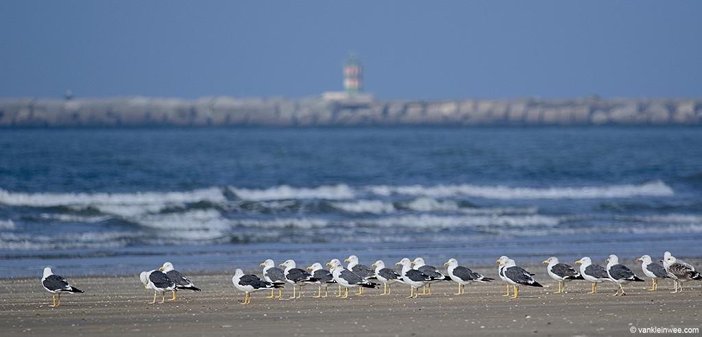 Lesser Black-backed Gulls on the beach of IJmuiden. 22 September 2013.