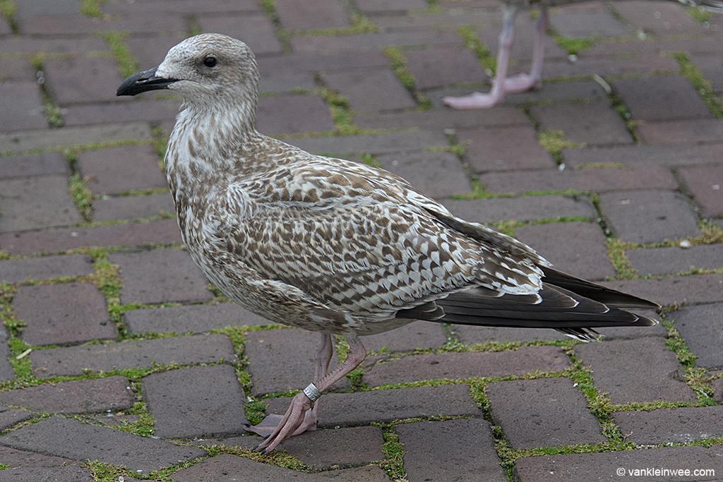 First-calendar year European Herring Gull, ringed as Arnhem 6173977. IJmuiden, 22 September 2013.