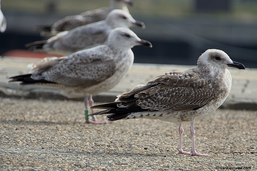 With 2nd-calendar year Herring Gull Green Y.BDS in the background. Port of IJmuiden, 22 September 2013.