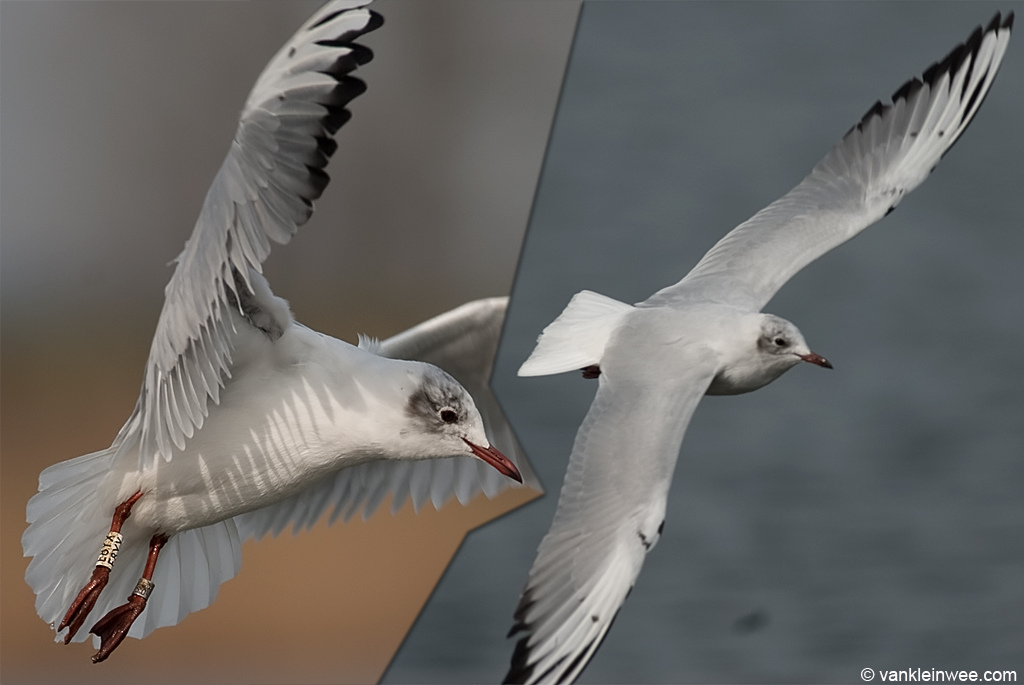 Black-headed Gull ringed as White E8YX, seen here in March 2011, displaying interesting black marks on the alula and primary coverts. I last saw this individual in March this year.