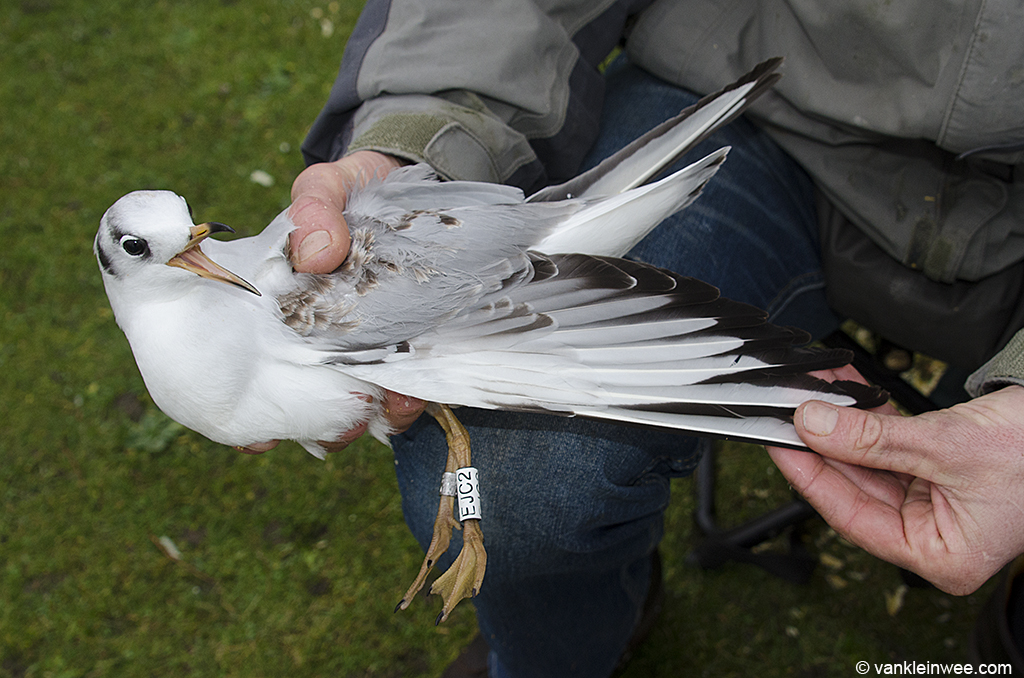 White EJC2 as a 1st-calendar year, shortly after being fitted with its rings. Leiden 24 December 2012.