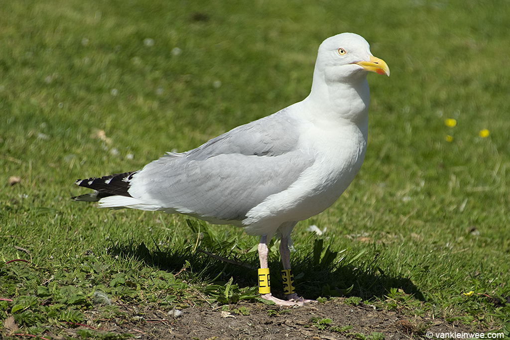 European Herring Gull, ringed as Yellow E261/Yellow E when I last saw it in Leiden on 23 July 2013.