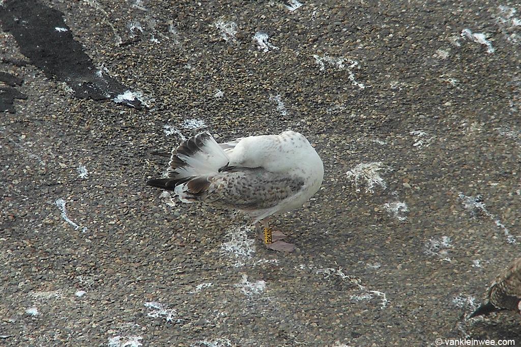 Second-calendar year Caspian Gull, ringed as Yellow PKNN. Katwijk aan Zee, 15 September 2013.