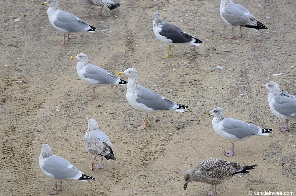 Scandinavian Herring gull among smaller European Herring Gulls. Katwijk aan Zee, The Netherlands, 20 October 2013.