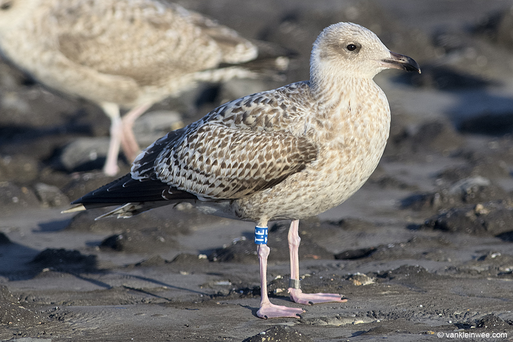 First-calendar year European Herring Gull, ringed this year as Blue T.E in the port of Rotterdam. Westkapelle, 1 October 2013.