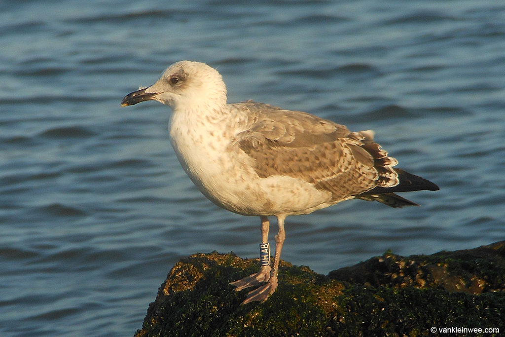 Second-calendar year Lesser Black-backed Gull, ringed in Belgium. Westkapelle 4 October 2013.