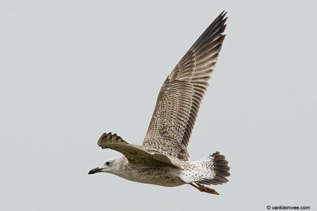 First-calendar year Caspian Gull, 8 October 2013.