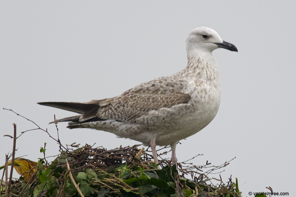 First-calendar year Caspian Gull, 8 October 2013.