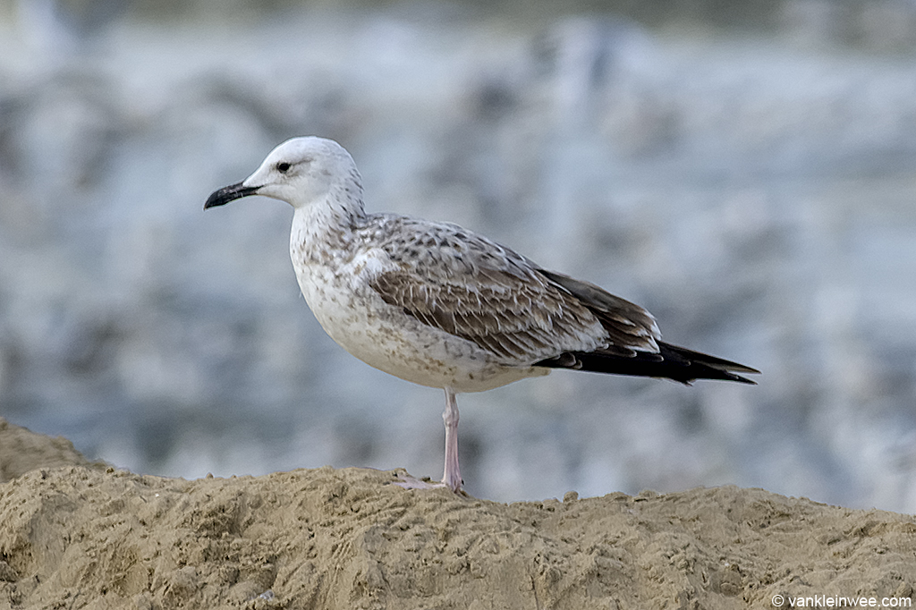 First-calendar year Caspian Gull. Katwijk aan Zee, The Netherlands 19 October 2013.