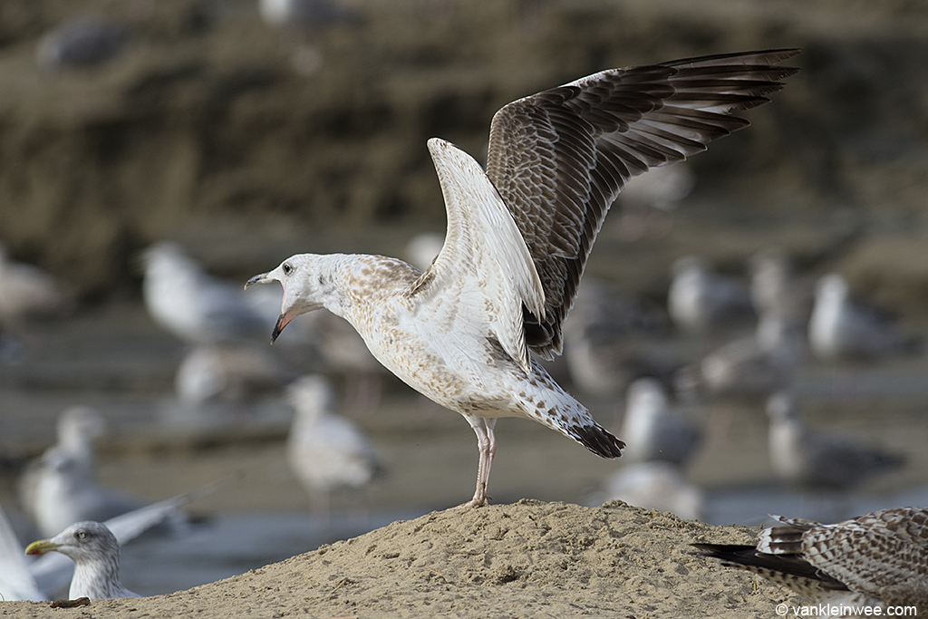 First-calendar year Caspian Gull, assuming the Albatross posture while long-calling. Katwijk aan Zee, The Netherlands 19 October 2013.