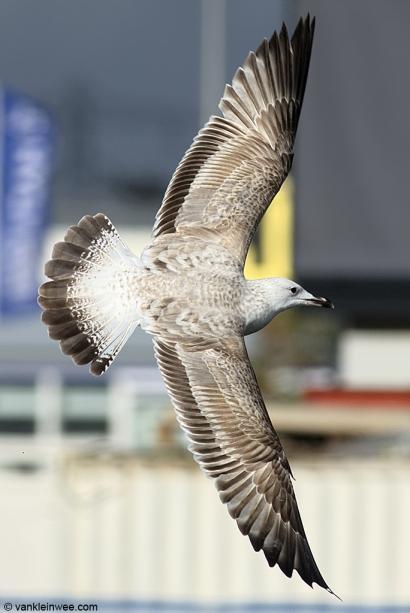 First-calendar year Caspian Gull. Leiden, The Netherlands, 29 October 2013.