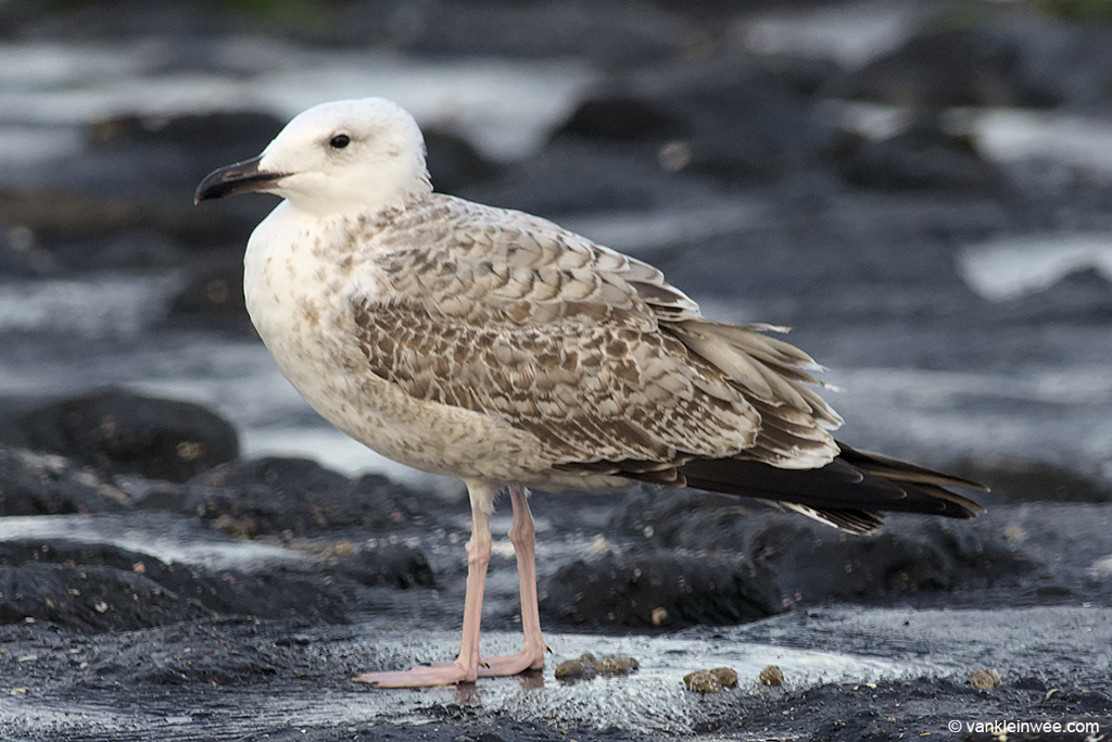 First-calendar year Caspian Gull. Note the replaced wing coverts. Westkapelle, The Netherlands, 4 October 2013.
