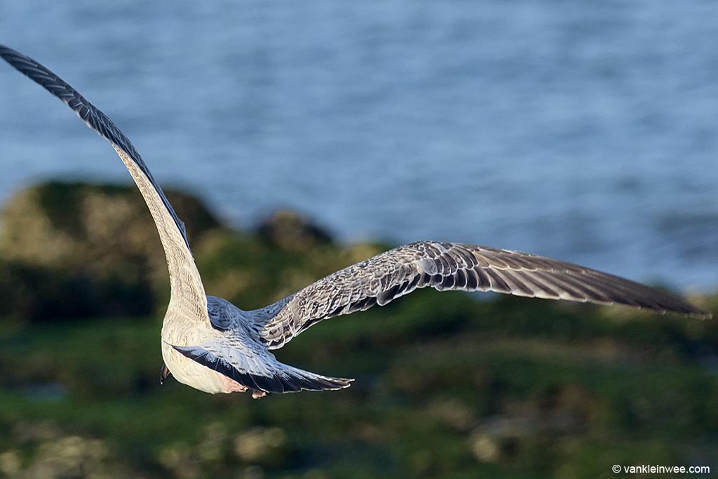 First-calendar year Caspian Gull. Westkapelle, The Netherlands, 4 October 2013.