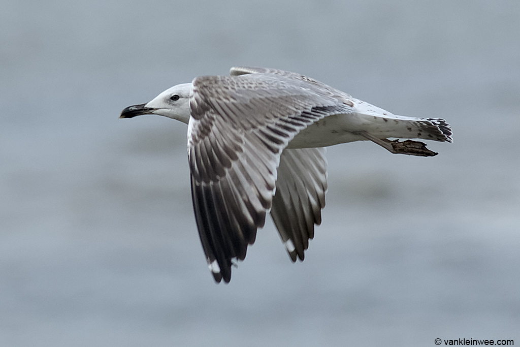 Second-calendar year Caspian Gull. Katwijk aan Zee, The Netherlands 19 October 2013.