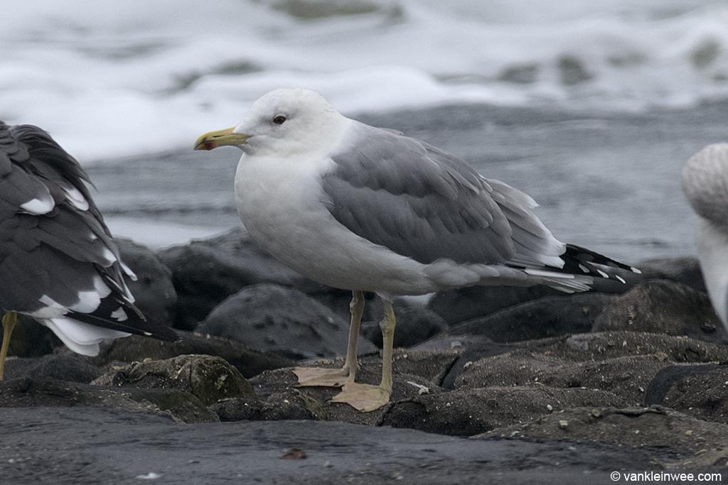 Adult Caspian Gull. Westkapelle, The Netherlands, 18 October 2013.