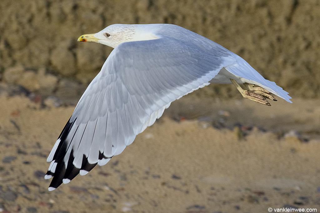 First-calendar year Yellow-legged Gull. Katwijk aan Zee, The Netherlands, 20 October 2013.