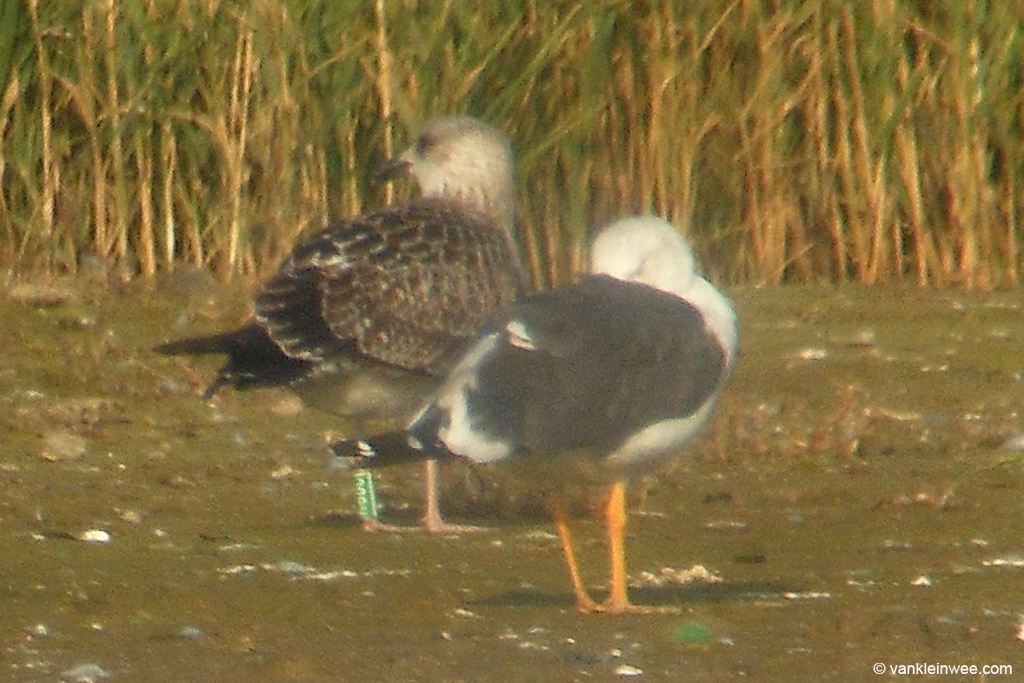 First-calendar year Lesser Black-backed Gull, ringed as Green K.BBC, in what looks like to be still in full juvenile plumage. Westkapelle, 30 September 2013.