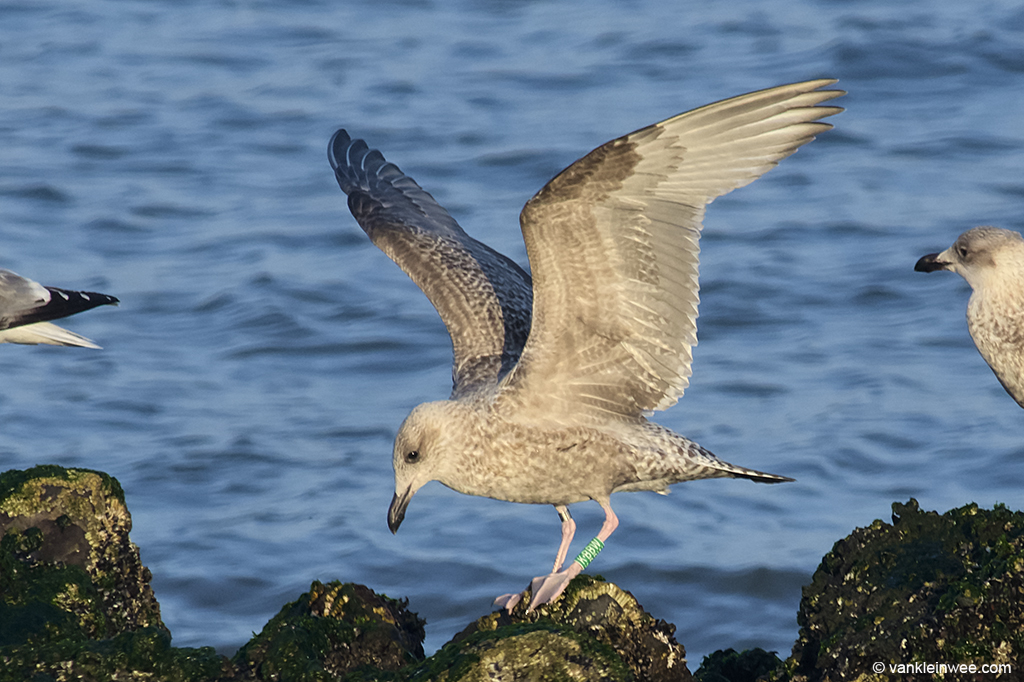 First-calendar year European Herring Gull, ringed as Green K.BBW. Westkapelle, 4 October 2013.