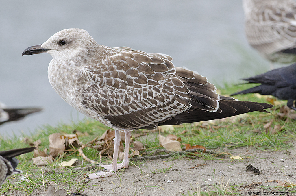 Intermedius-type 1st-calendar year Lesser Black-backed Gull. Leiden, The Netherlands, 9 October 2013.
