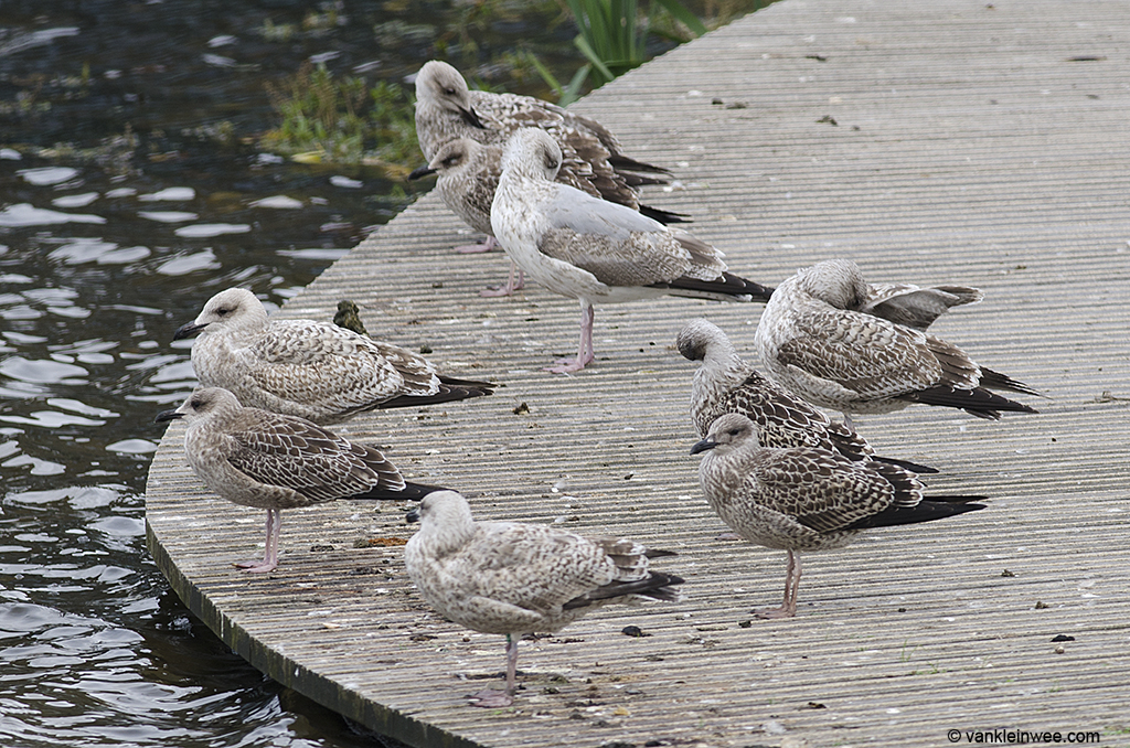 Intermedius-type 1st-calendar year Lesser Black-backed Gulls standing out between graellsii-type gulls and 1st, 2nd, and 3rd-calendar year Herring Gulls. Leiden, The Netherlands, 9 October 2013.