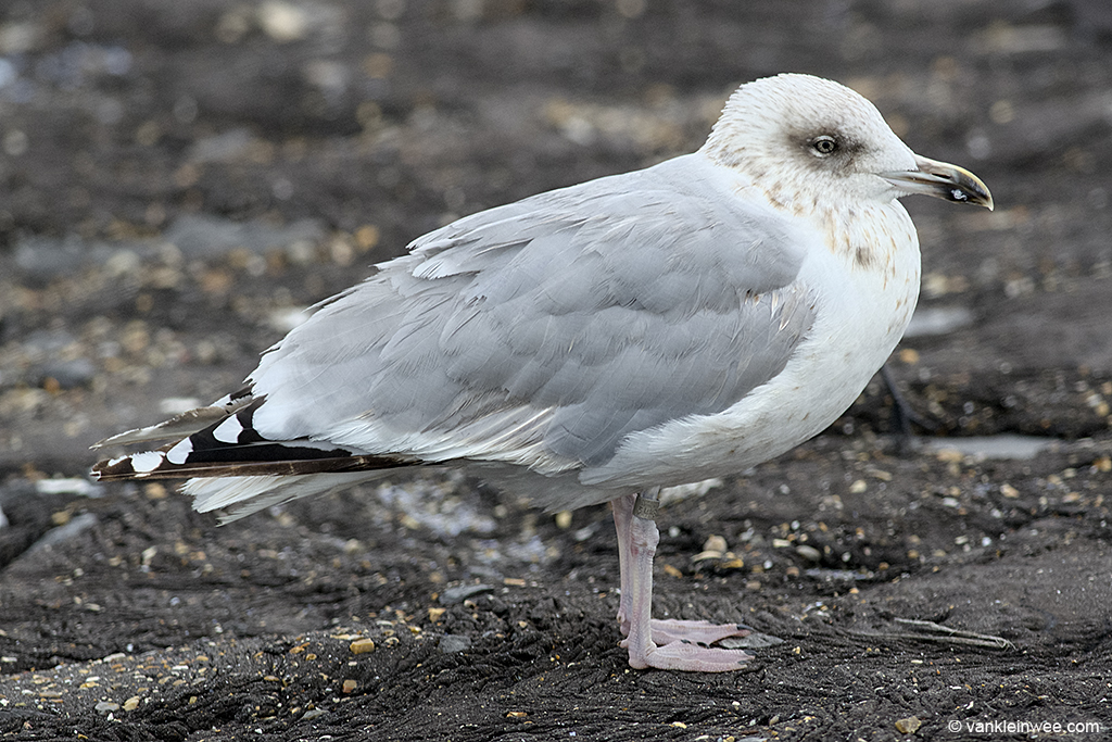 Third-calendar year European Herring Gull, ringed as Arnhem 5448578. Westkapelle, 2 October 2013.