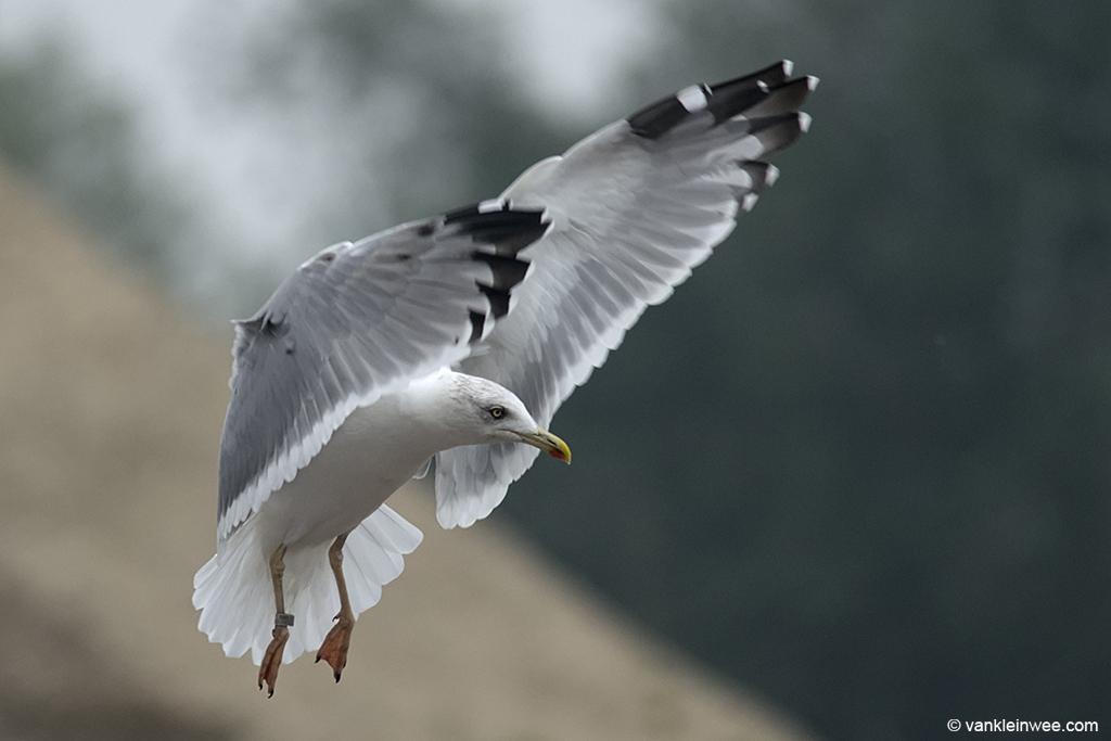 4th-calendar year Yellow-legged Gull. Barneveld waste dump, The Netherlands. 8 October 2013.
