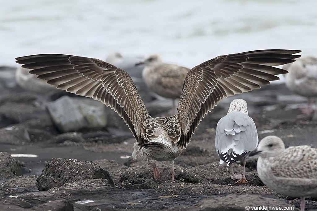 First-calendar year Yellow-legged Gull. Westkapelle, The Netherlands, 18 October 2013.