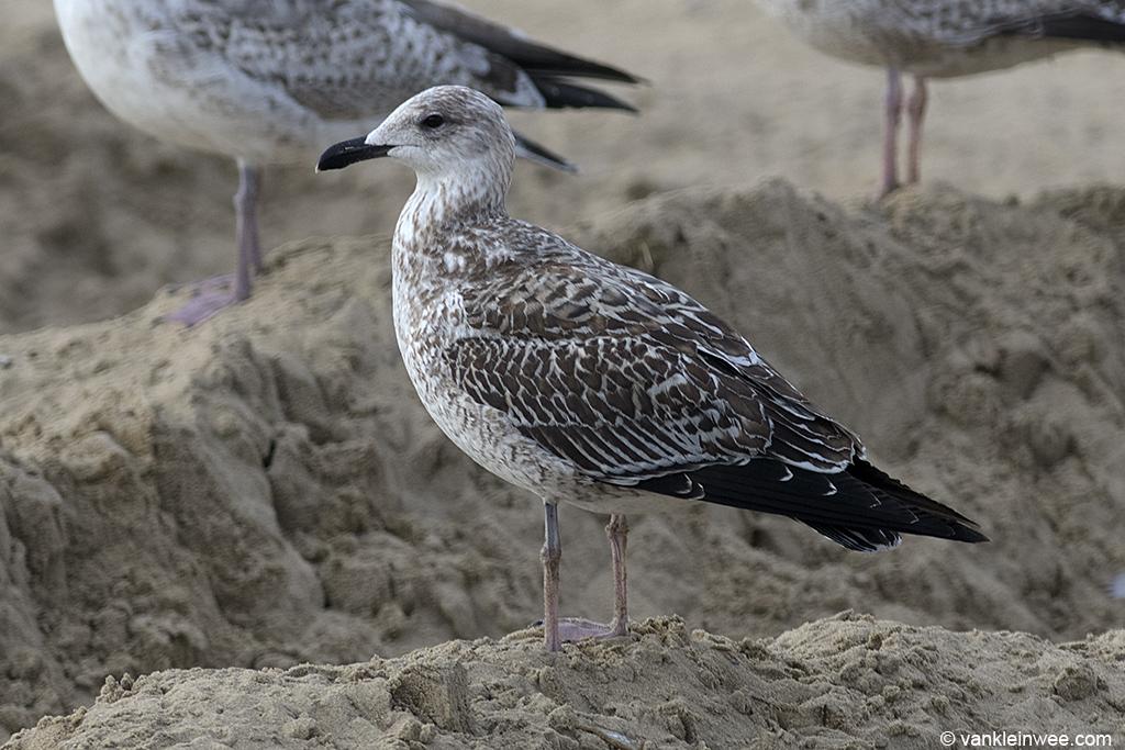 First-calendar year Yellow-legged Gull. Katwijk aan Zee, The Netherlands, 19 October 2013.