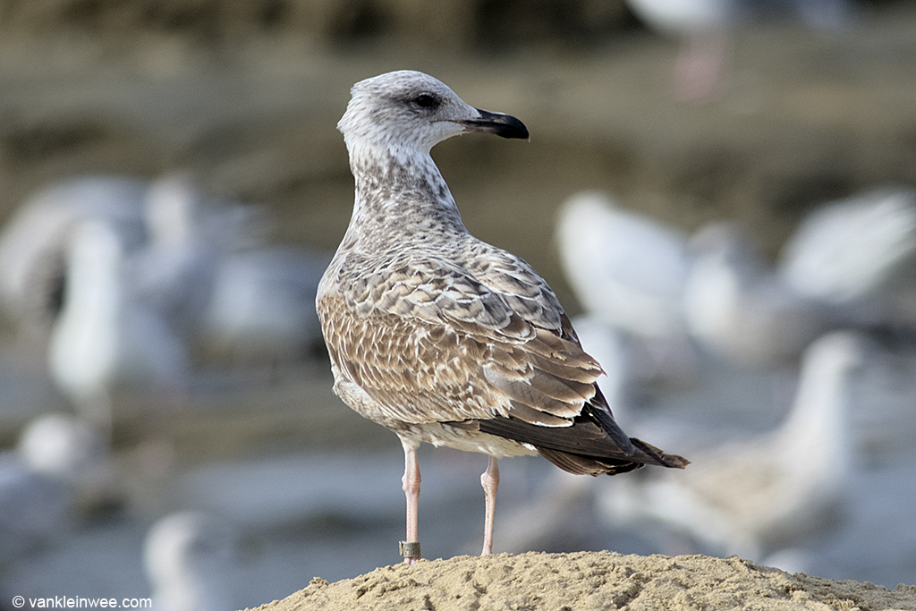 First-calendar year Yellow-legged Gull fitted with a Swiss metal clip ring which unfortunately I was not able to read. Katwijk aan Zee, The Netherlands, 19 October 2013.