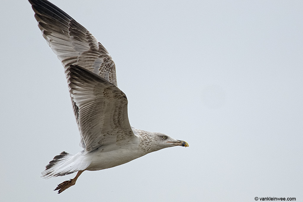 3rd-calendar year Yellow-legged Gull. Barneveld waste dump, The Netherlands. 8 October 2013.