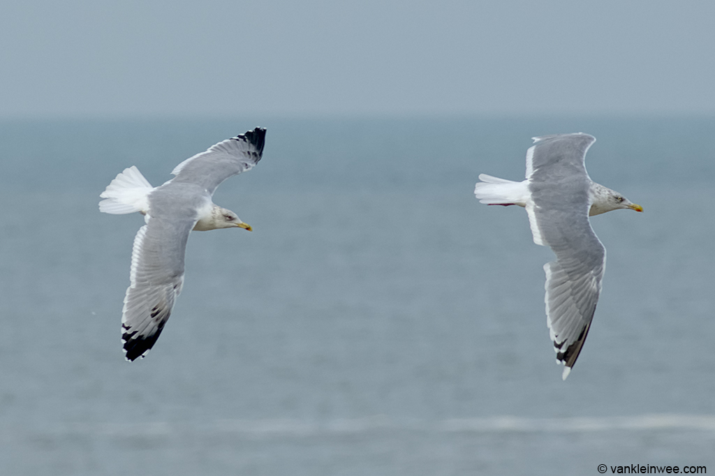 Fourth-calendar year type Yellow-legged Gull (left) with adult Herring Gull (right). Katwijk aan Zee, The Netherlands, 20 October 2013.