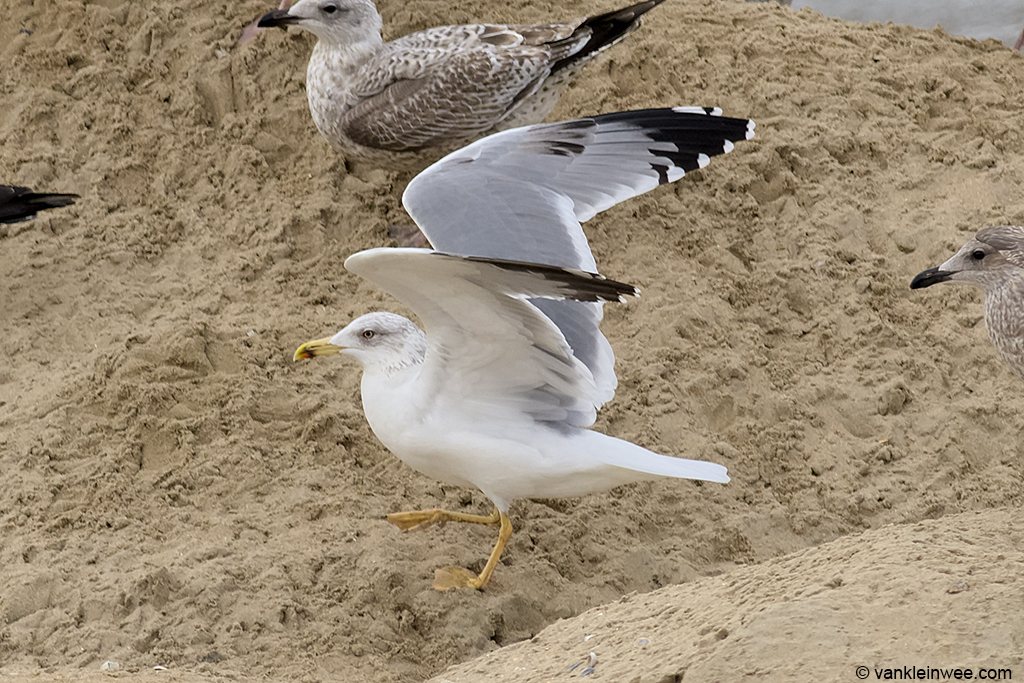Fourth-calendar year type Yellow-legged Gull, aged by the amount of black in the primary coverts. Katwijk aan Zee, The Netherlands, 20 October 2013.