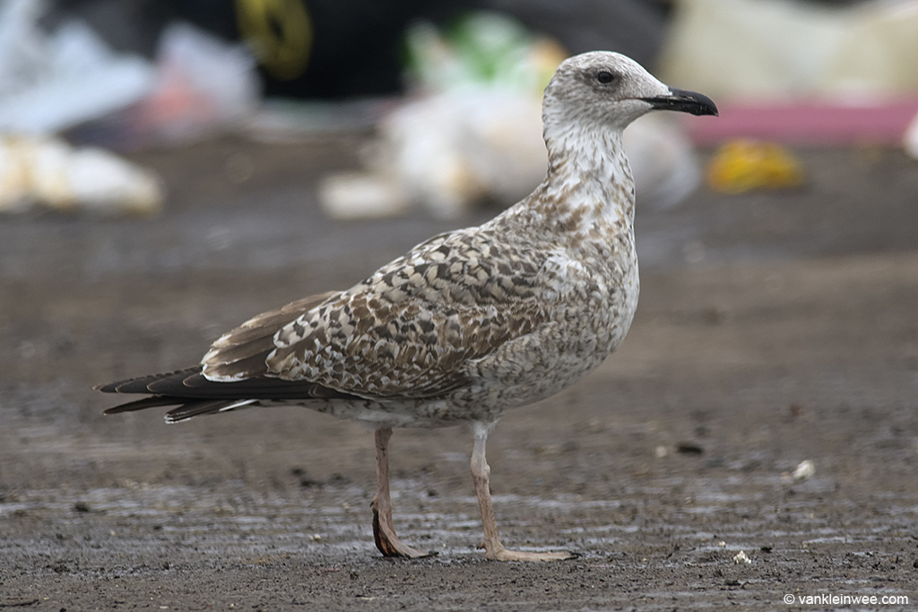 1st-calendar year Yellow-legged Gull. Barneveld waste dump, The Netherlands, 8 October 2013.