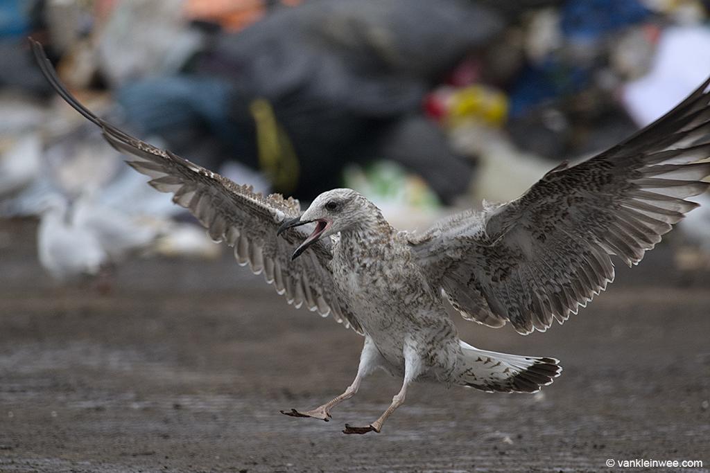 1st-calendar year Yellow-legged Gull. Barneveld waste dump, The Netherlands, 8 October 2013.