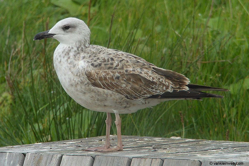 First-calendar year Yellow-legged Gull. 9 October 2013, Leiden, The Netherlands.
