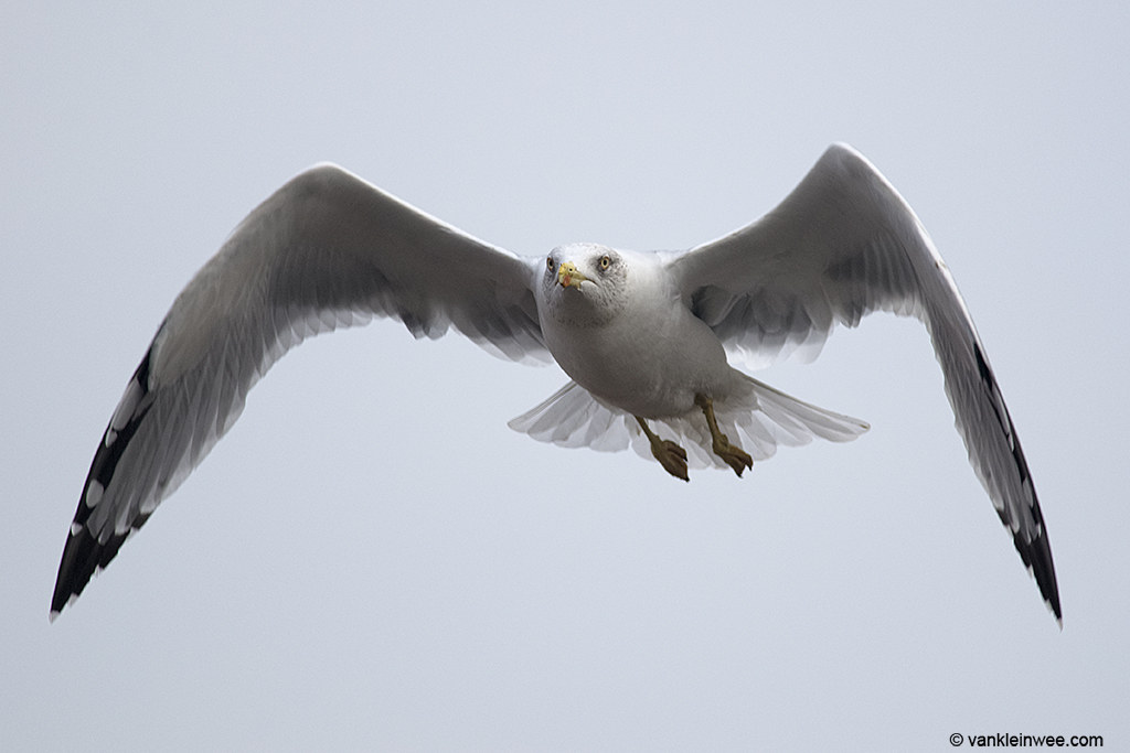 Adult Yellow-legged Gull. Barneveld waste dump, The Netherlands, 8 October 2013.