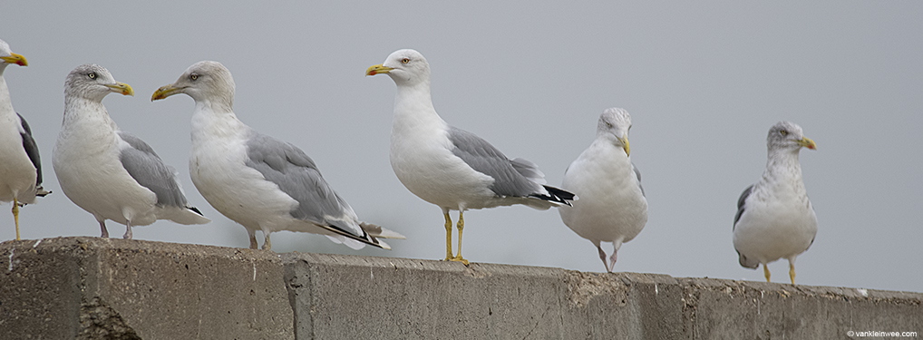 Adult Yellow-legged Gull among adult Lesser Black-backed Gulls (far right and far left) and adult European Herring Gulls. Barneveld waste dump, The Netherlands, 8 October 2013.