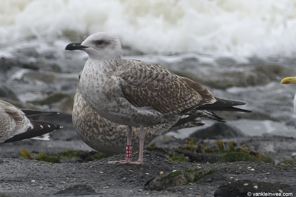 First-calendar year Yellow-legged Gull, ringed as Red 20W. Westkapelle, The Netherlands, 18 October 2013.