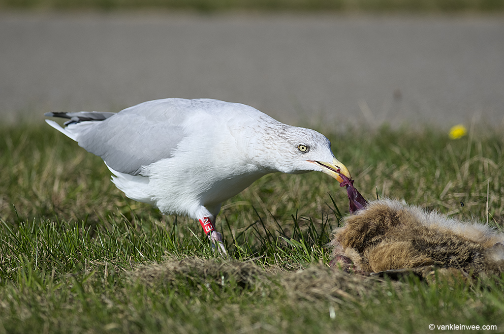 Adult European Herring Gull, feasting on the carcass of a rabbit. During my stay in Westkapelle, I have also seen gulls eating a Hedgehog and a Rock Pipit. Westkapelle, 30 September 2013.