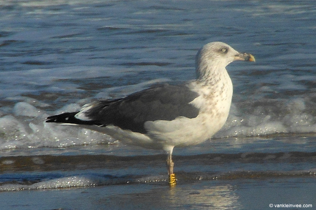 Third-calendar year type Lesser Black-backed Gull, ringed in Germany. Westkapelle 1 October 2013.