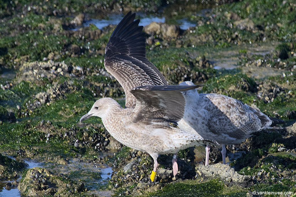 First-calendar year Lesser Black-backed Gull, ringed in Germany. Westkapelle 4 October 2013.