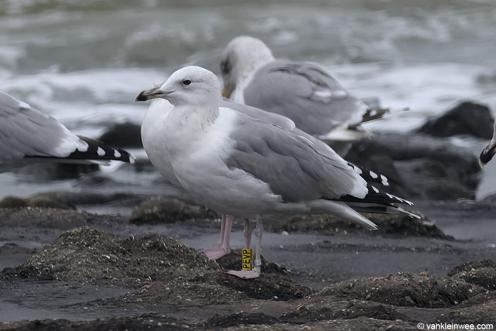 4th-calendar year type Caspian Gull, ringed as Yellow PEVP. Westkapelle 18 October 2013.