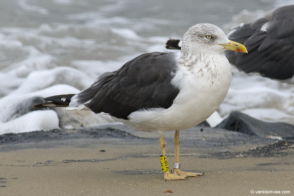 Adult Lesser Black-backed Gull, ringed in Denmark. Westkapelle 2 October 2013.