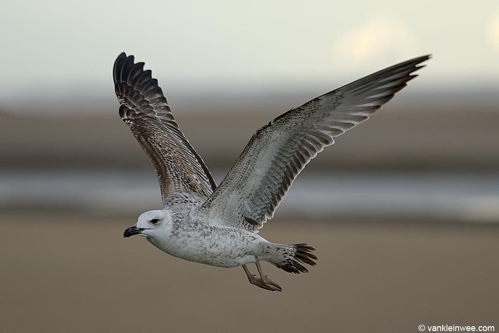First-calendar year Caspian Gull. Katwijk aan Zee, The Netherlands, 23 November 2013.